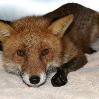 Sparky the Longford Fox