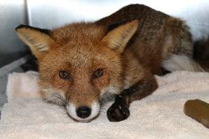 Sparky the Longford Fox